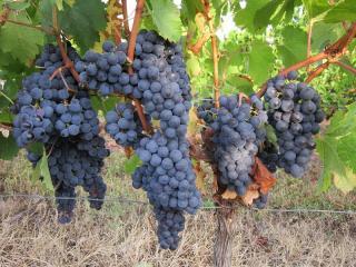 De beaux raisins mûrs
