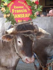 Bazas - La fête des bœufs gras