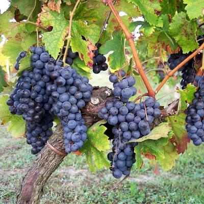 De la vigne...